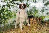 Gun dog near to trophies, horizontal, outdoors — Stock Photo