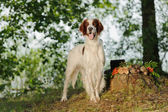 Gun dog near to trophies, horizontal, outdoors — Stock Photo