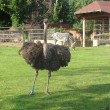Stock Photo: Ostrich, zebrand giraffe at zoo