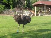 ダチョウ, シマウマと動物園のキリン — ストック写真