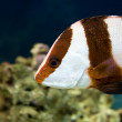 White-tailed damselfish (dascyllus aruanus) - Stock Photo
