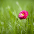 Photo of marguerite with green grass - Stock Photo