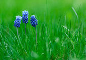 Foto van muscari met groen gras — Stockfoto