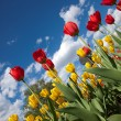 Tulips — Stock Photo #26891583