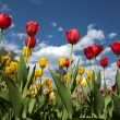 Tulips — Stock Photo #26891607