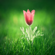 Photo of snowdrop against green grass — Stock Photo