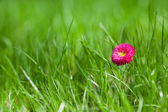 Picture of marguerite with green grass (focus on the flower) — Stock Photo