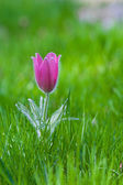 Photo of snowdrop against green grass (focus on a flower) — Stock Photo