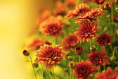Colorful autumnal chrysanthemum — Stock Photo