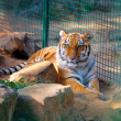 Stock Photo: Tiger in cage at zoo