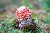 Amanita en kleurrijke moss — Stockfoto