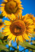 Yellow sunflowers on a blue sky — Stock Photo