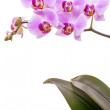 Pink orchid isolated on white — Stock Photo