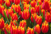 Fresh orange tulips in warm sunlight — Stock Photo