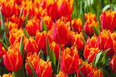 Fresh orange tulips in warm sunlight — Foto de Stock