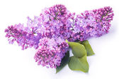 Lilac flowers isolated on the white — Stock Photo