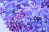 Lila blommor på nära håll — Stockfoto