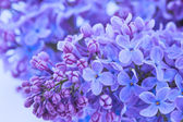 Lila bloemen close-up — Stockfoto