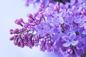 Lilac flowers close up — Stock Photo