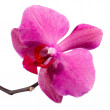 Red orchid — Foto de Stock