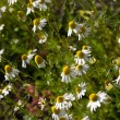 Wild camomile (scented Mayweed) — Stock Photo