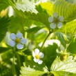 Strawberry blooms — Stock Photo #15852889