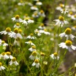 Wild camomile — Stock Photo
