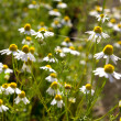 Stock Photo: Wild camomile