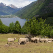 Stock Photo: Sheep in mountain pastures