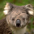 Ausltralian Koala - Stock Photo