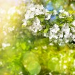 Flowers of apple tree in sunny day — Stock Photo #17651673
