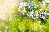 Flowers of apple tree in sunny day — Stock Photo