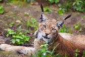 Beautiful wild lynx — Stock Photo