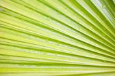Green leaf of palm tree closeup. nature — Stock Photo