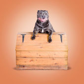 Cute purebred blue staffy dog posing on wooden box — Stok fotoğraf