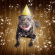 Partytime for a staffie birthday dog - Stock Photo