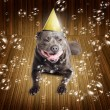 Royalty-Free Stock Photo: Partytime for a staffie birthday dog