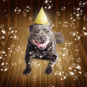 Partytime for a staffie birthday dog — Zdjęcie stockowe