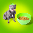 Blue staffie with his bowl of food - Stock Photo