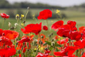 Poppy Field — Stock fotografie