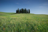 Meadow field with isolated cypress trees — Foto de Stock