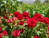 Beautiful bushes of red roses — Stock Photo
