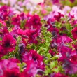 Beautiful bushes magentpetunias. flower background — Stock Photo #13373766