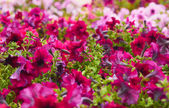 Beautiful bushes magenta petunias. flower background — Stock Photo