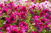 Beautiful bushes magenta petunias. flower background — Stock Photo