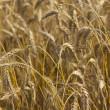 Summer landscape - wheat field — Stock Photo