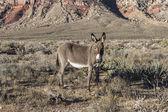 Red Rock Nevada Burro — Stock Photo