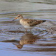 Pectoral Sandpiper (Calidris melanotos) — Stock Photo