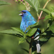 Male Indigo Bunting (Passerina cyanea) - Stock Photo
