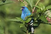 Male Indigo Bunting (Passerina cyanea) — Stock Photo